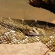 Stock Photo: ArizonBlack Rattlesnake - Crotalus cerbus