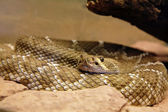 Arizona Black Rattlesnake - Crotalus cerbus — Stock Photo
