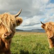 Close up of scottish highland cow in field — Stock Photo #35597341