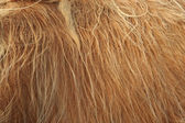 Close up of scottish highland cow in field — Stock Photo