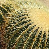 Kaktus złotą piłkę — Zdjęcie stockowe