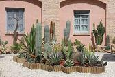 Złoty barrel cactus i agava w tropikalnym ogrodzie — Zdjęcie stockowe