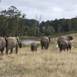 Herd of elephants walking in a game reserve, south africa — Stock Photo