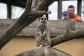 A meerkat in an enclosure being observed by a family — Stock Photo