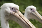 Side view of pelicans — Stock Photo