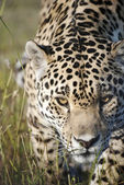 A jaguar prowling towards the camera in a game reserve, South Af — Stock Photo