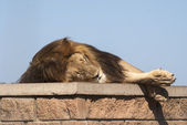 Sleeping lion — Stock Photo