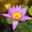 Royalty-Free Stock Photo: Pink lotus on pond, lotus is symbole of spa and buddhism in asia