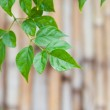 Green leave — Stock Photo #12816844