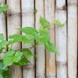 Vine and heart leave — Stock Photo