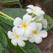 White and yellow frangipani flowers — Stock Photo #12837816