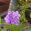 Purple Orchid, Vanda hybrids — Stock Photo