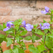 Pretty small purple flowers — Stock Photo
