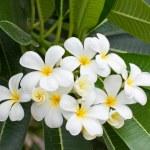 White and yellow frangipani flowers — Stock Photo #12837857