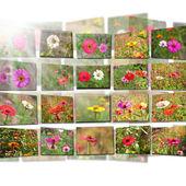Цинния цветы и вспышки — Стоковое фото