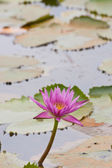 Pink lotus blooming on pond — Stock Photo