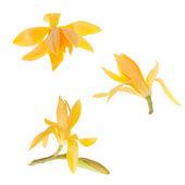 Yellow Michelia Alba — Stock Photo