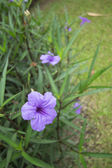 Ruellia tuberosa flower — Stock Photo