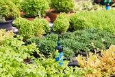 Sprinkle Irrigation — Stock Photo