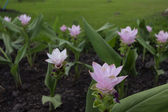 Siam tulip pink color curcuma — Stock Photo