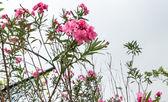 Pink oleander flowers — Stock Photo