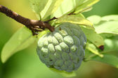Sugar apple fruit on tree in garden — Stock Photo