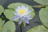 Blue lotus or water lily flowers — Stock Photo