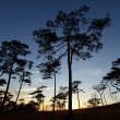 Silhouette pine forest at sunset — Stock Photo
