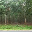 Stock Photo: Rubber trees in southern Thailand