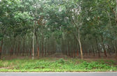 Rubber trees in southern Thailand — Stock fotografie