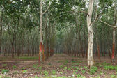 Rubber trees in southern Thailand — Photo