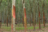 Rubber trees in southern Thailand — Stockfoto