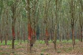 Rubber trees in southern Thailand — Foto Stock