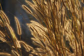 Foxtail weed grass flowers — 图库照片