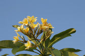 Yellow frangipani flowers — Stock Photo
