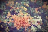 Bougainvillea blooms — Stock Photo