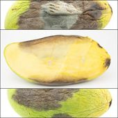 Rotten half mango fruit — Stock Photo