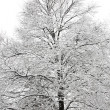 Snow covered tree — Stock Photo