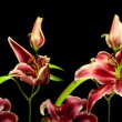 Royalty-Free Stock Photo: Lily Time-lapse Series