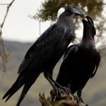 Corvus crassirostris. Raven eagle. — Stock Photo