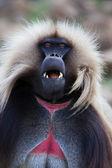 Monkey - theropithecus — Stock Photo