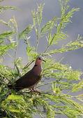 Wild pigeon. — Stock Photo