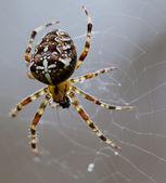 Spider on web. — Stock Photo