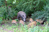 Sow with young willd pigs. — Stock Photo