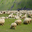 Sheeps. — Stock Photo