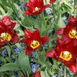 Maroon tulips with jagged petals in the garden together with blu — Stock Photo