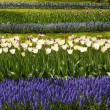 White tulips with blue hyacinths in the garden view from the sid — Stok fotoğraf