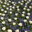 White tulips with blue hyacinths view from the top. — Stock Photo