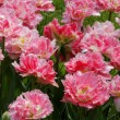 Pink tulips with jagged petals. — Stock Photo #36525713