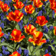 Tulips with jagged petals in garden. — Stock Photo #36525743